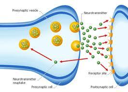 Neurotransmitter transmission